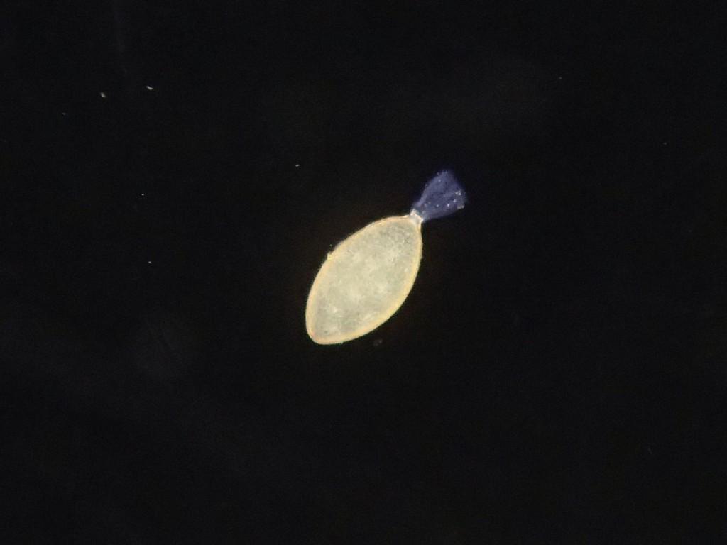 キイロサナエ卵