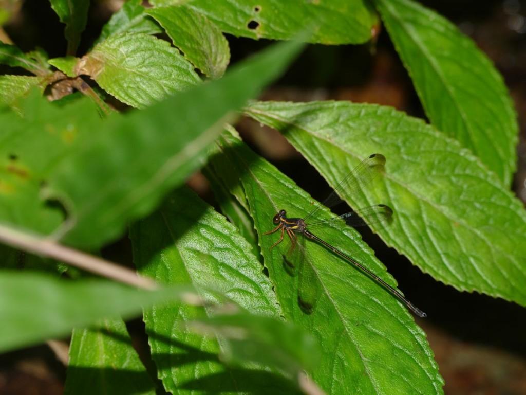 オキナワトゲオトンボ