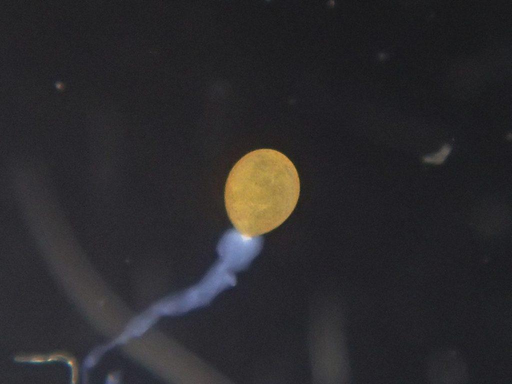 ハネビロトンボ卵