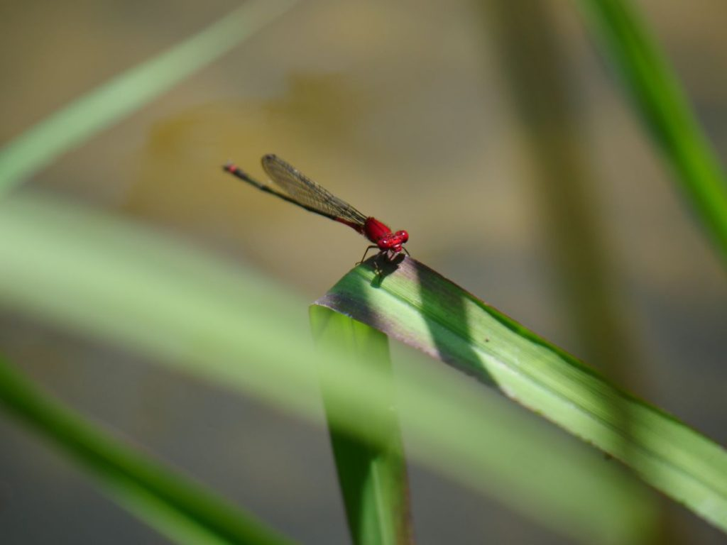アカナガイトトンボ