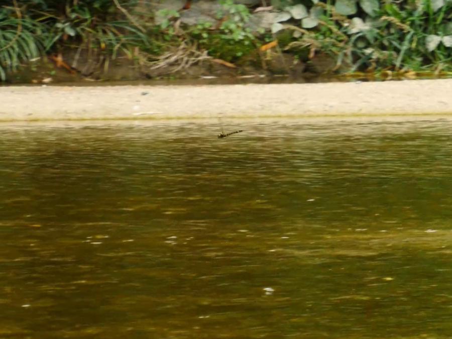 キイロヤマトンボ
