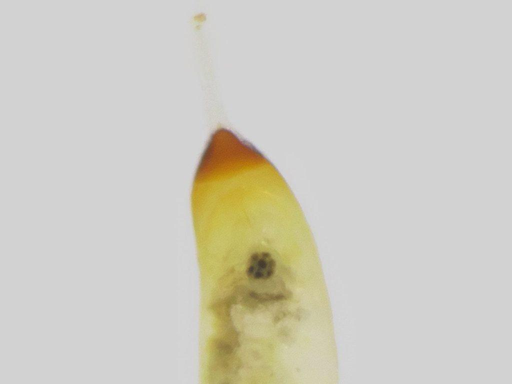 モノサシトンボ